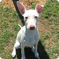 Adopt A Pet :: Opal - Nashville, TN