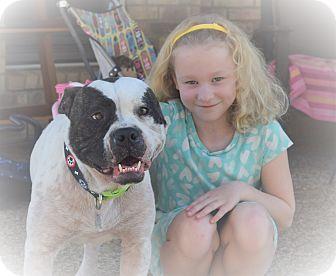 American Bulldog/Boston Terrier Mix Dog for adoption in Plainfield, Connecticut - SHERMAN