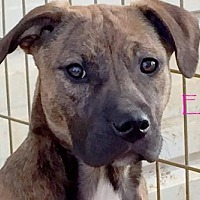 Adopt A Pet :: Emma - Sumter, SC