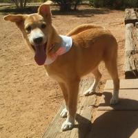 Retriever (Unknown Type) Mix Dog for adoption in Las Cruces, New Mexico - Ariel