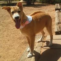 Adopt A Pet :: Ariel - Las Cruces, NM