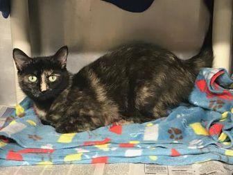 Domestic Shorthair/Domestic Shorthair Mix Cat for adoption in BATH, New York - Dorothy