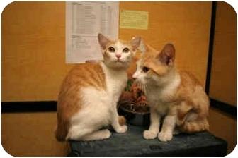 Domestic Shorthair Kitten for adoption in Orlando, Florida - Tino