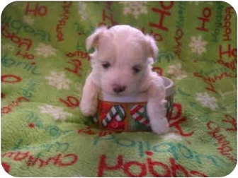 Chinese Crested/Maltese Mix Puppy for adoption in Wauseon, Ohio - Small Teacup Puppies
