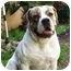 Photo 2 - American Bulldog/Mastiff Mix Dog for adoption in Hermosa, California - Macksun