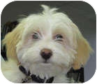 Shih Tzu/Poodle (Miniature) Mix Puppy for adoption in Poway, California - Max