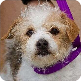 Parson Russell Terrier Mix Dog for adoption in Berkeley, California - Jenga