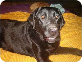 Labrador Retriever Dog for adoption in North Jackson, Ohio - Romeo