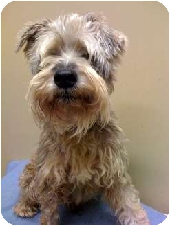 Terrier (Unknown Type, Small) Mix Dog for adoption in Houston, Texas - Scrappy