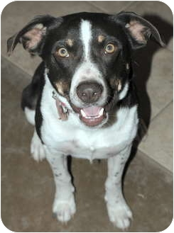 Australian Cattle Dog Mix Dog for adoption in Phoenix, Arizona - Wrangler