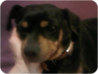 Miniature Pinscher Dog for adoption in Scottsdale, Arizona - Shamu
