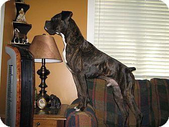 Boxer Mix Dog for adoption in Hancock, Michigan - Chance