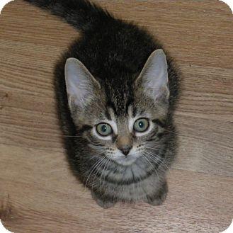 Domestic Shorthair Kitten for adoption in Toronto, Ontario - Cleveland