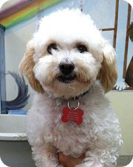 Poodle (Miniature) Mix Dog for adoption in Goleta, California - DeeDee