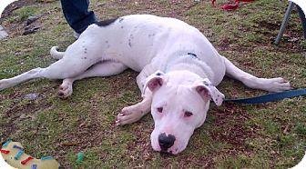 Mastiff Mix Dog for adoption in Santa Monica, California - Moe