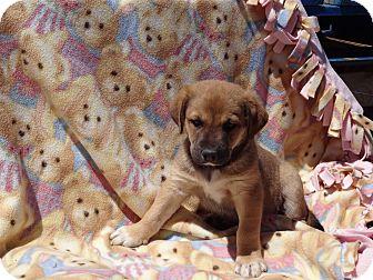 Labrador Retriever/German Shepherd Dog Mix Puppy for adoption in Littleton, Colorado - FREDDIE'S PUPS