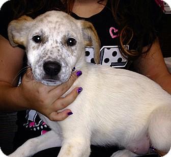 Blue Heeler Mix Puppy for adoption in Yelm, Washington - Pixie