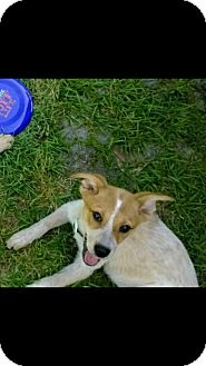 Australian Cattle Dog/Cattle Dog Mix Puppy for adoption in Dumfries, Virginia - Kat-COURTESY