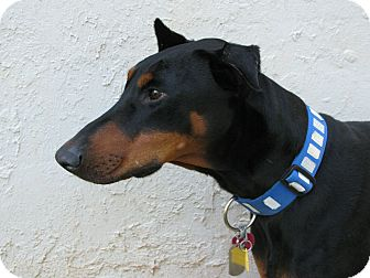 Doberman Pinscher Dog for adoption in Hartwell, Georgia - Dante