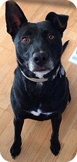 Labrador Retriever/German Shepherd Dog Mix Dog for adoption in Charlotte, North Carolina - Ben