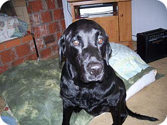 Labrador Retriever Mix Dog for adoption in Seahurst, Washington - Bart