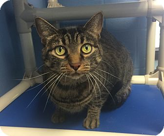 Domestic Shorthair Cat for adoption in Germantown, Tennessee - Bella