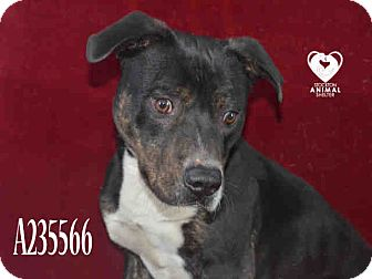 Pit Bull Terrier Mix Dog for adoption in Tracy, California - Buddy