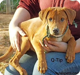 Labrador Retriever/Hound (Unknown Type) Mix Dog for adoption in Danielsville, Georgia - Q-tip