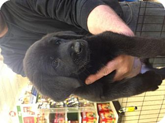 Labrador Retriever/Newfoundland Mix Puppy for adoption in House Springs, Missouri - Raven