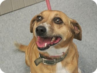 Beagle Mix Dog for adoption in Martinsville, Indiana - Lady