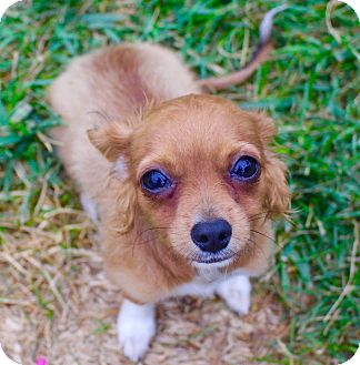 Chihuahua Mix Puppy for adoption in Cypress, California - Rowdey