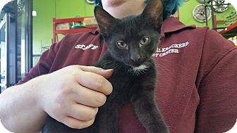 Domestic Shorthair Kitten for adoption in Oak Lawn, Illinois - Nikki