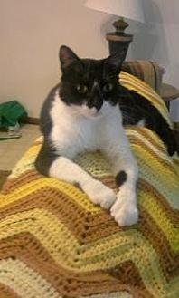 Domestic Shorthair Cat for adoption in Sedalia, Missouri - Kitty