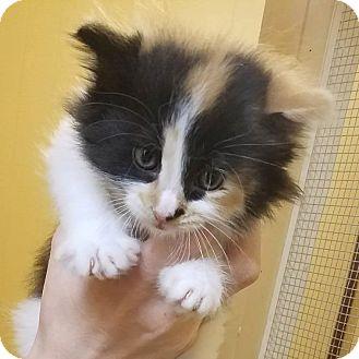 Domestic Longhair Kitten for adoption in Somerset, Pennsylvania - Jessie
