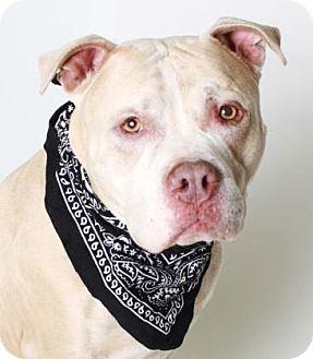 Pit Bull Terrier Mix Dog for adoption in Eugene, Oregon - Tank