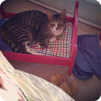 American Shorthair Cat for adoption in Baltimore, Maryland - George