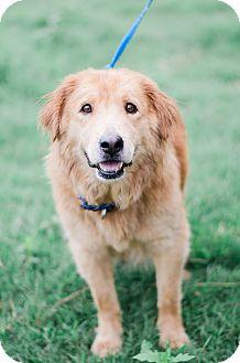 Golden Retriever Mix Dog for adoption in Seneca, South Carolina - Sweetie $125