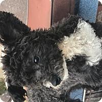 Adopt A Pet :: Tux - Long Beach, CA