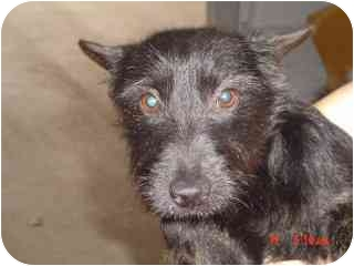 Cairn Terrier/Scottie, Scottish Terrier Mix Dog for adoption in Kerrville, Texas - Conrad