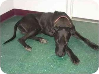 Great Dane Dog for adoption in Macclenny, Florida - Wilson