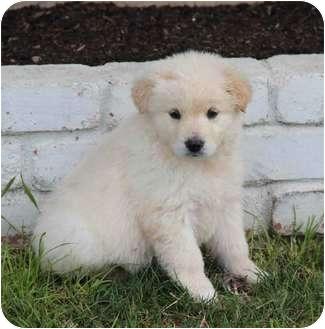 Golden Retriever/Border Collie Mix Puppy for adoption in Yuba City, California - Kimmy