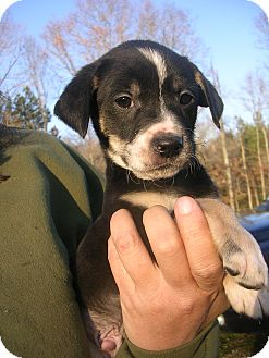 Shepherd (Unknown Type) Mix Puppy for adoption in Glastonbury, Connecticut - Argus