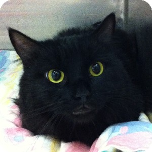 Domestic Longhair Cat for adoption in Gilbert, Arizona - Rascal