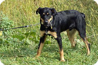 Rottweiler/Labrador Retriever Mix Dog for adoption in Seattle, Washington - Moonboy