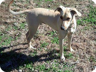 Labrador Retriever Mix Dog for adoption in Nashville, Tennessee - Ellie Mae