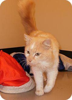 Domestic Shorthair Cat for adoption in Bellingham, Washington - Diesel