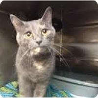 Adopt A Pet :: Jasmine (declawed) - Arlington, VA
