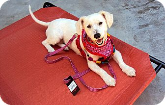 Maltese Mix Dog for adoption in San Diego, California - Luna