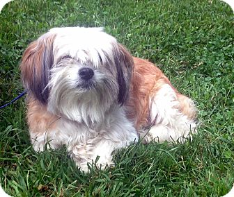 Lhasa Apso Mix Dog for adoption in Bloomfield, Connecticut - Jitters