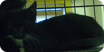 Domestic Shorthair Cat for adoption in Forest Hills, New York - Scubby